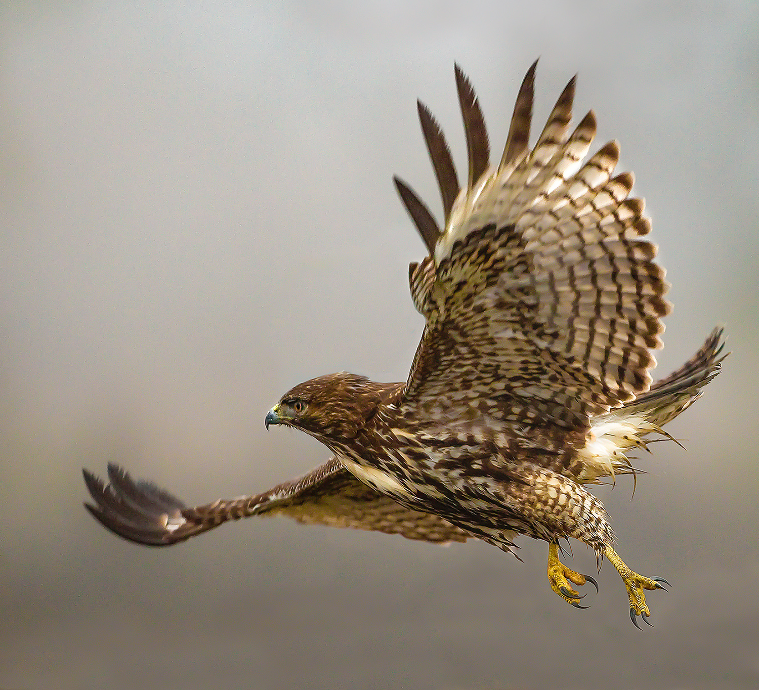 Photo of red-tailed hawk in flight by David Wong